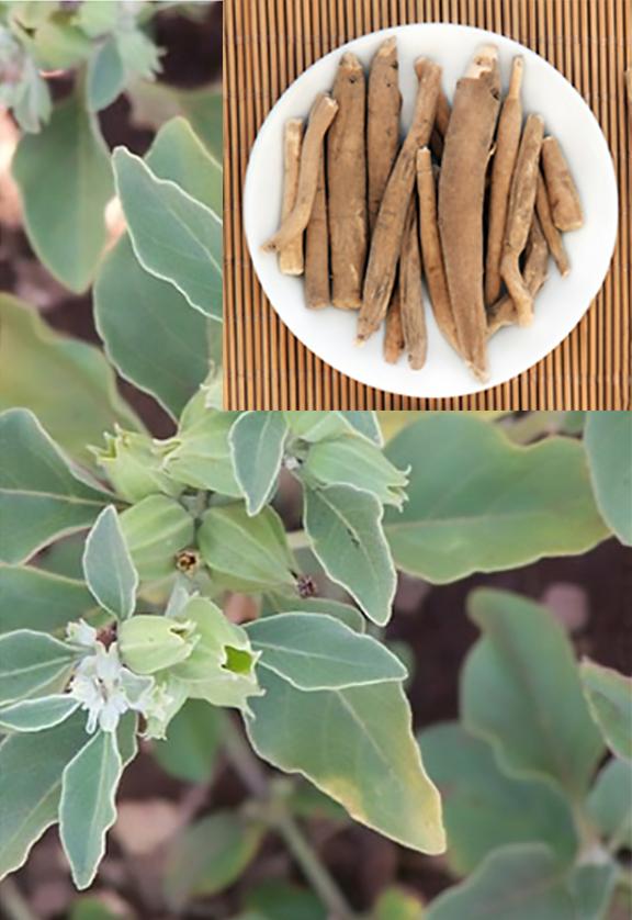 Ashwagandah-Pflanze-2